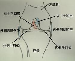 半月板 靭帯.jpg